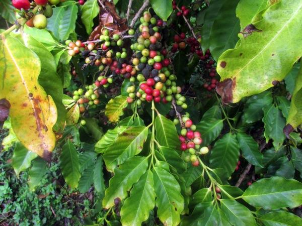 Cherries_2.JPG