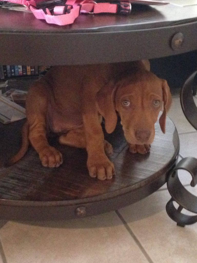 8-week-old-rhodesian-ridgeback