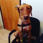 nala-kennel-cough-rhodesian-ridgeback