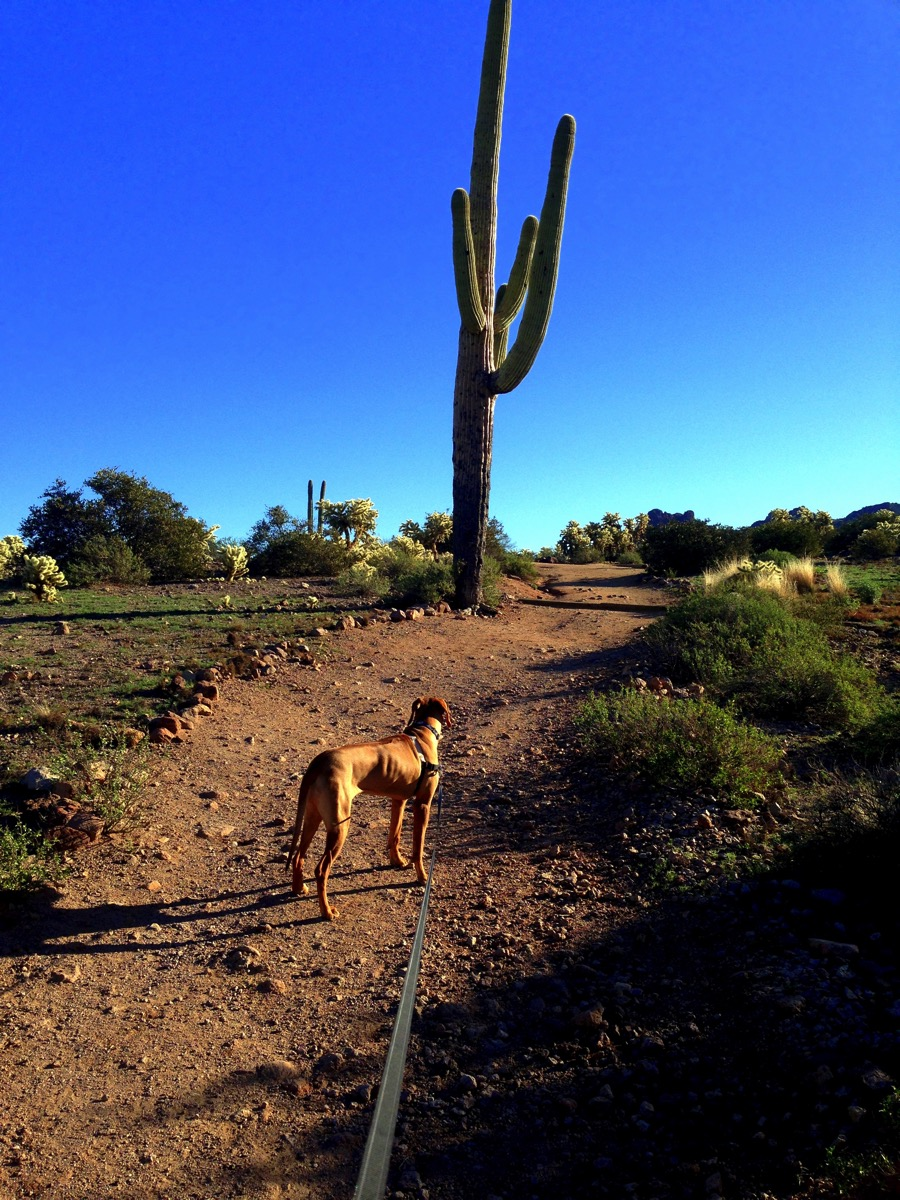 Ridgeback and cactus